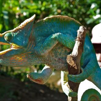 Chamäleon Calumma Parsonii Yellow Giant, male