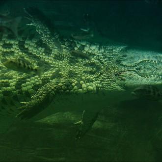 Double Croc