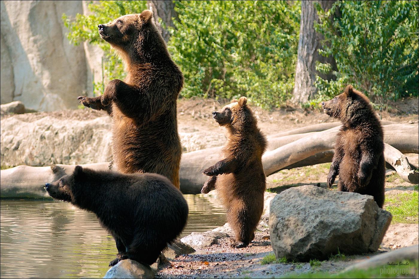 Kamtschak-Bären